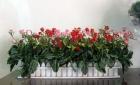 Hàng rào hồng nhí 50cm P0073.2 (hết hàng)