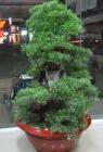 .Cây Thiên Đông P0004