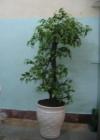 .Cây lá xanh T6 P0081-3