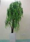 .Cây liễu rủ có hoa P0015