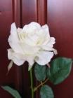 Hoa hồng Canada F000510 (hết hàng)
