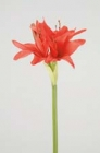 Hoa huệ tây FHT14(hết hàng)